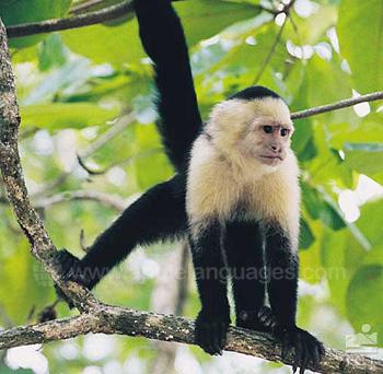 Regenwoud aap