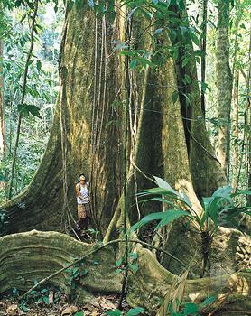 Pristine regenwoud